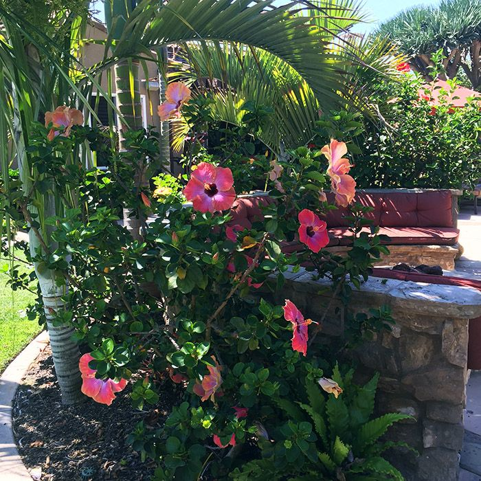 17 Best Images About Gardening Tips And Ideas On Pinterest: 17 Best Ideas About Hibiscus Garden On Pinterest