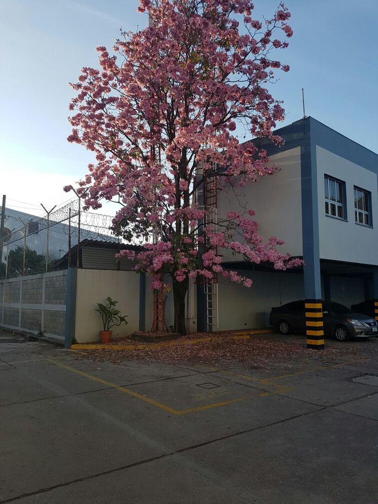 Floración árbol de Manuelizo  Rosado, Honduras
