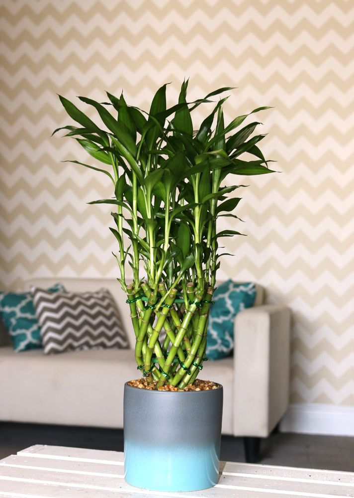 1000 id es sur le th me lucky bamboo plants sur pinterest plantes de bambou plantes et. Black Bedroom Furniture Sets. Home Design Ideas