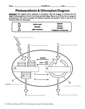Photosynthesis chloroplast diagram labeling worksheet ides pour photosynthesis chloroplast diagram labeling worksheet ides pour la maison pinterest photosynthesis diagram and worksheets ccuart Image collections