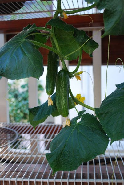 Growing cucumbers is easy, even for inexperienced home gardeners. Cucumbers are a cool, crisp summer treat that have a place in every garden. Aromatic herbs like basil or summer savory can mask cucumbers from cucumber pests like striped or spotted cucumbers beetles.*