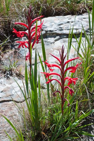 Watsonia gladioloides