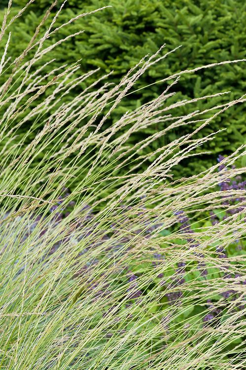 Festuca or fescue grass. Comb through to remove dead foliage and trim off seedheads in February, earlier if self-seeding is a problem.
