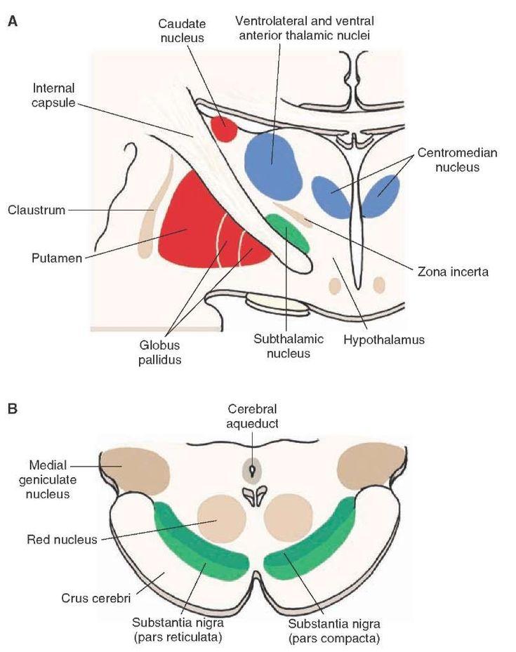 basal ganglia caudate globus pallidus putamen - Bing images