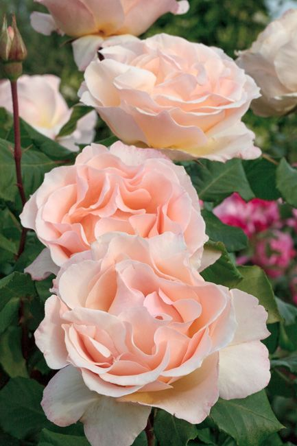 MEILLAND International | Rosiers de Jardin | Grandes fleurs;YohanStrauss