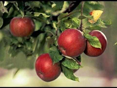 11 секретов хорошего урожая яблок / яблони / 7dach.ru