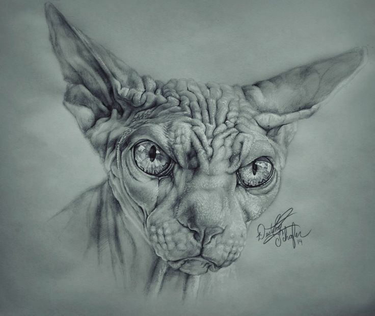 Hairless Cat Drawing (Pencil Sketch 2014) | DESTINYu0026#39;S ARTWORK | Pinterest | Cats Drawings And ...