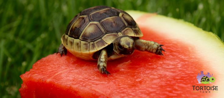 Our Ibera Greek Tortoises for sale are super cute, vividly marked and healthy eaters! When buying a greek tortoise for sale either an ibera greek tortoise for sale, or a black greek tortoise for sale, or even the brighter golden greek tortoise it is imperative that you buy from a reputable tortoise breeder.
