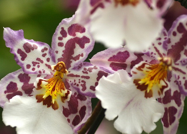 Wilsonara Tigersette Orchids.......have one of these :]