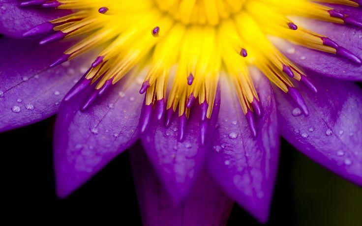 Nymphaea caerulea....   Wonderful Capture :) !!!