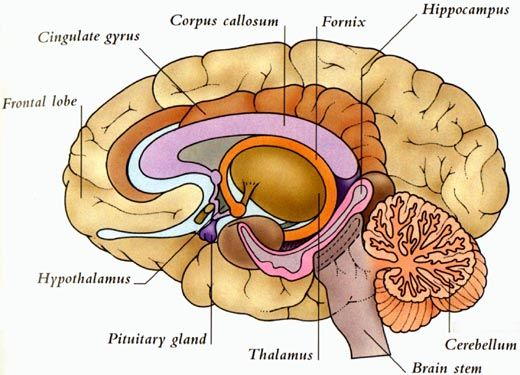 Below the level of the cerebral cortex lies the thalamus, the brain's information relay network. Surrounding the thalamus is a group of structures, the limbic system, which is involved in survival behavior and emotions.  Closely linked with the limbic system is the hypothalamus, which has overall control of the autonomic nervous system. The cingulate gyrus is involved in survival behavior. The hippocampus is involved in memory storage.