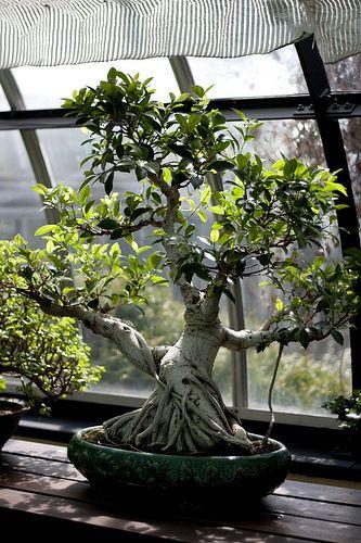 Bonsai de uma árvore de Ficus.  Fotografia: Jared Cherup no Flickr.