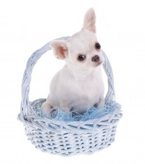 Easter Puppy - Many common easter decorations, foods and plants are poisonous to dogs and cats! Be sure to keep lilies, easter grass and chocolate away from pets.