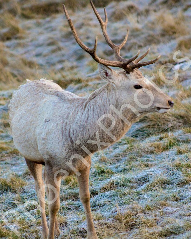 Bukhara Deer