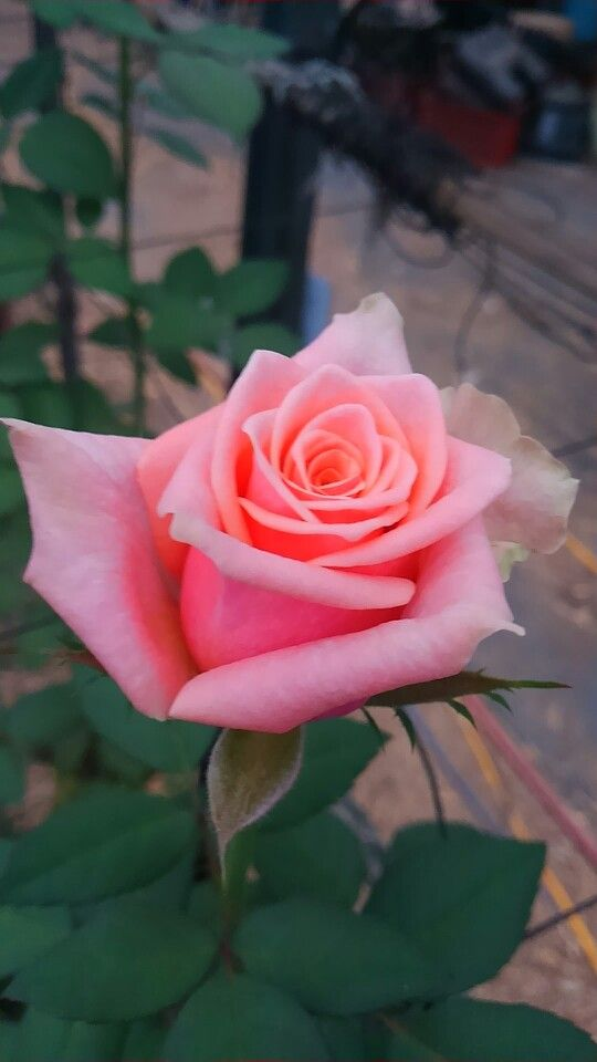 I'd like to prick my hand with the thorns of this rose's stem...