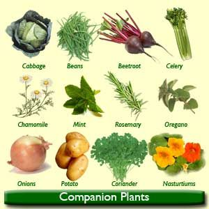 companion planting is the planting of various vegetables and plants next to each other the idea is that they help one another in nutrient uptake