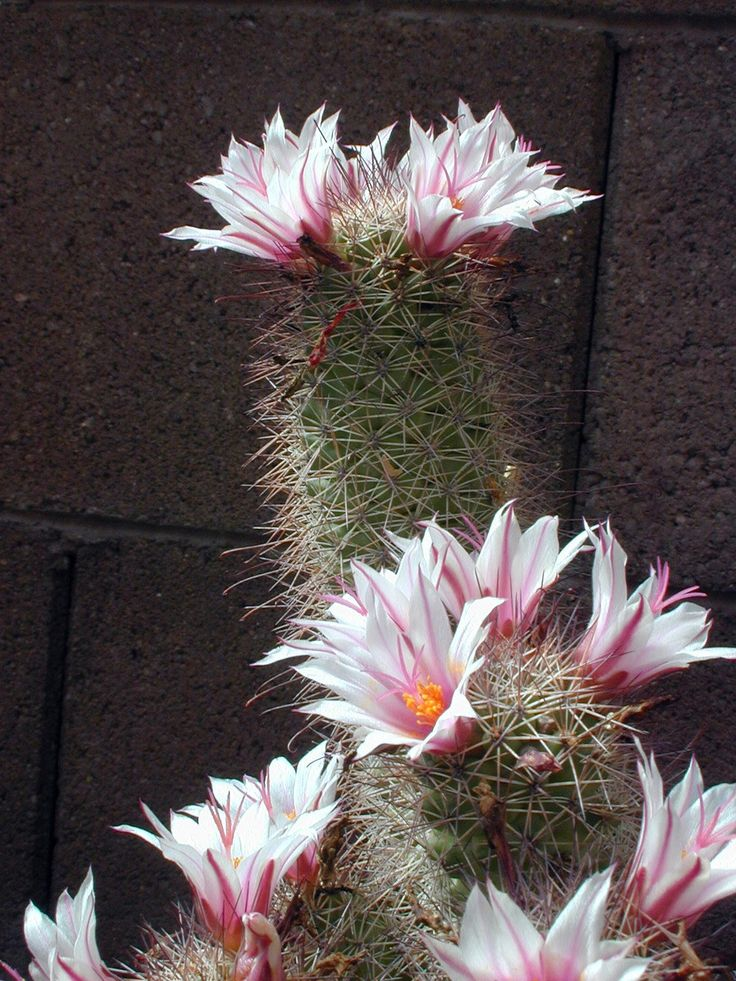 Best images about cactus flowers on pinterest