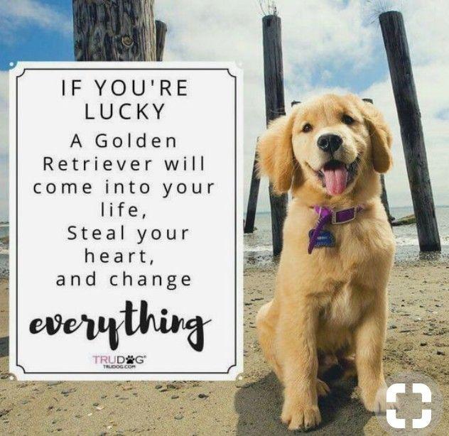 I M So Lucky Golden Retriever Retriever Retriever Puppy