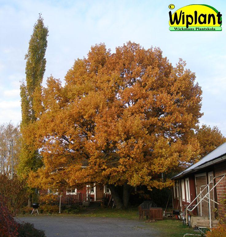 Quercus robur, skogsek. Fröförökad från eget moderträd. Höjd: 10-20 m.