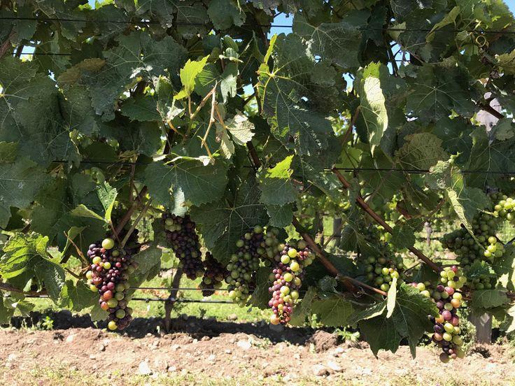 Veraison within the vineyard #amisfield #pinotnoir #pisa #centralotago #harvest2017