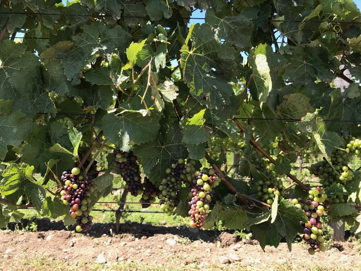 Veraison within the vineyard #amisfield #pinotnoir #pisa #centralotago #harvest2017
