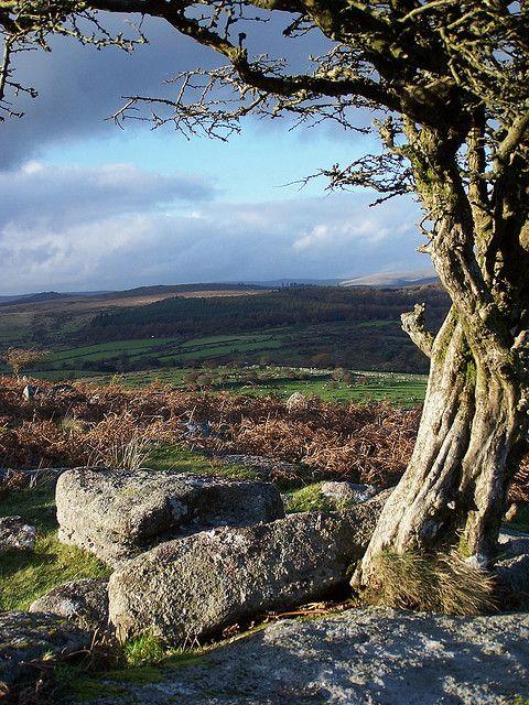 Dartmoor framed by a windswept Hawthorn at Combestone Tor. Devon