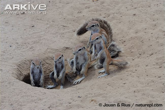 South African ground squirrel videos, photos and facts - Xerus ...