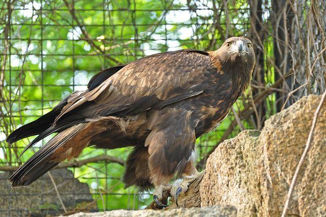 Steenarend (Aquila chrysaetos) Tierpark Berlin, Germany Conservation status: Least concern