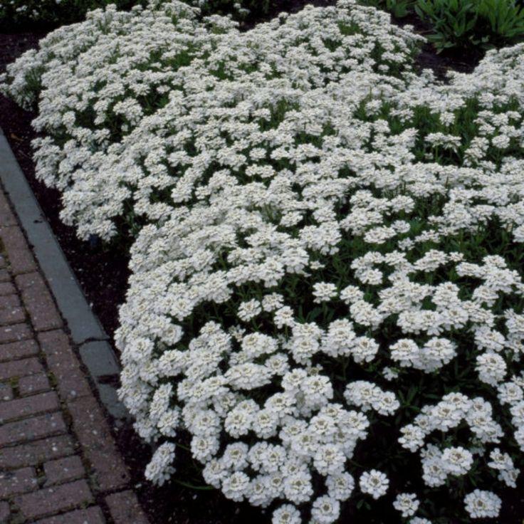Snøsløyfe - masse blomster - april/mai/juni - 20 cm