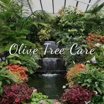 Olive Tree Care