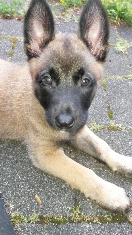 Misha - Mechelse herder (rond de 2/3 maanden oud)