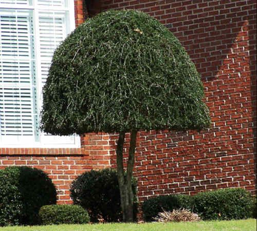 Dwarf weeping trees for landscaping what is this plant for Best dwarf trees for landscaping