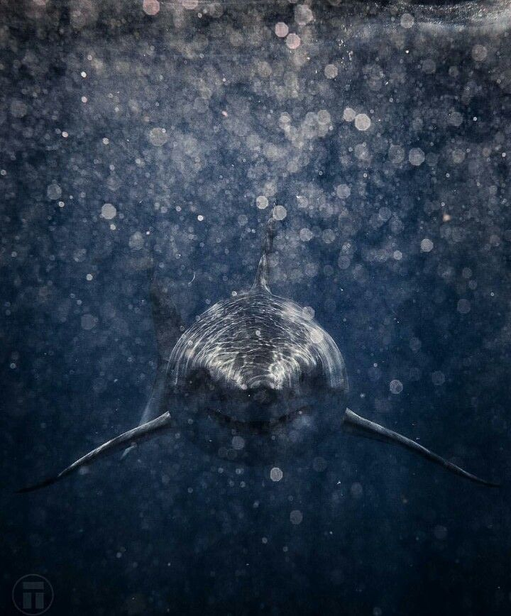 Stunning shark swimming
