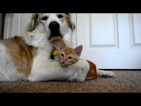 video 36: Cute ADORABLE kitten tries to steal dog's tongue