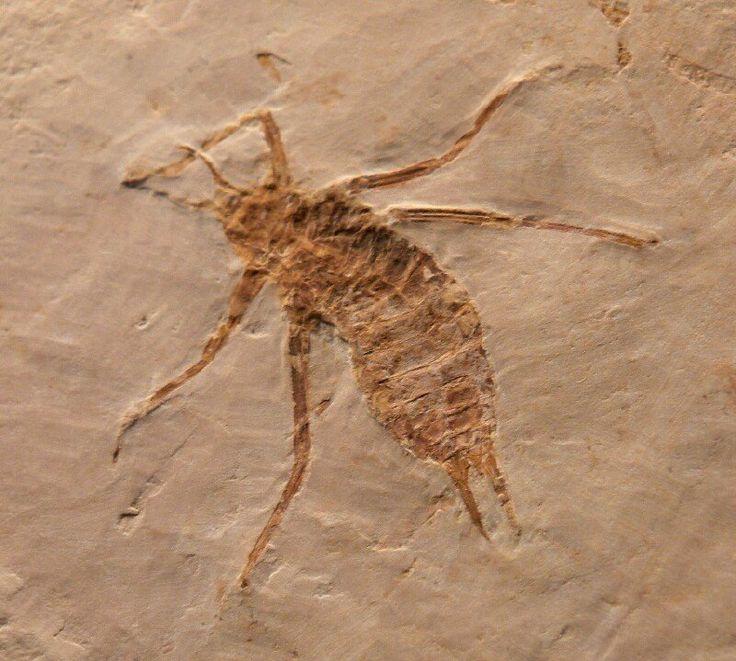 "Fossil Dragonfly Larva - Nothomacromia sensibilis - 0.98"" (2.5 cm) overall fossil length - 3.74"" (9.5 cm) x 3.93"" (10 cm) matrix - Lower Cretaceous, Late Aptian-Nova Linda Member - Ceara, Brazil"