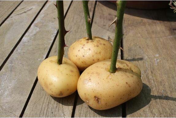 Памятка.: Как размножать розы быстро и просто в картошке.