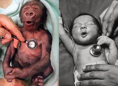 A gorilla, and a human baby reacting to the coldness of the stethoscope exactly the same way