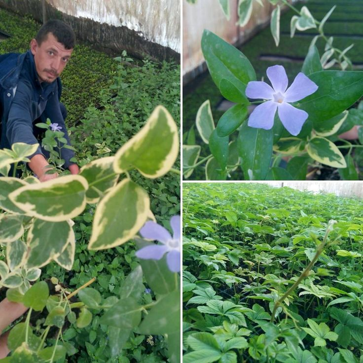 Bu güzel bitki hediyeleri için Muharrem Güneş'e çok teşekkür ederim. Çok güzel sarmaşık çeşitleri ve peyzaj ürünleri için mutlaka ulaşın.. #ayazmaköyü #seloayazma #peyzaj #yalovanıntekboşnakköyü #yalova #çiçek #bahçe http://turkrazzi.com/ipost/1520554567989165757/?code=BUaGFLGl369