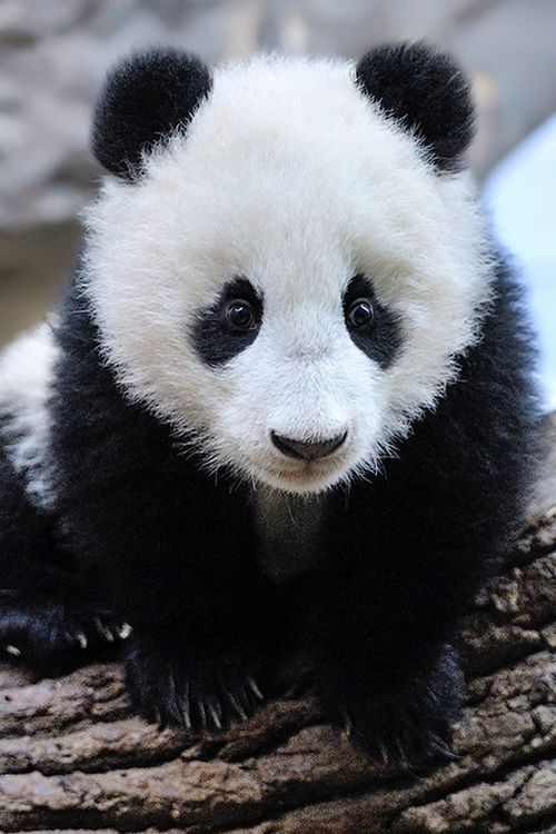 Baby Panda-My favorite animal on the planet. Don't get me wrong. I'm an all-out all-around animal lover but, these little guys and girls, just take my breath away