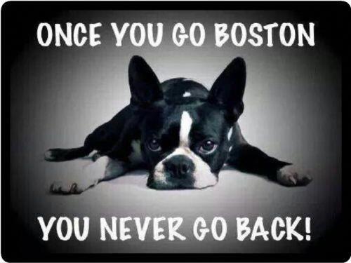 Boston Terrier Friendly And Bright Bostoninterrieri Terrieri Kuvat