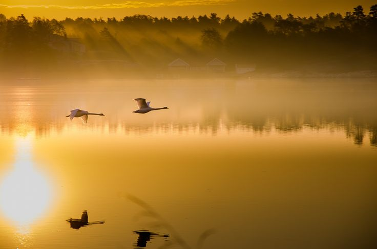 Sunkissed swans by Roger Carlsson on 500px