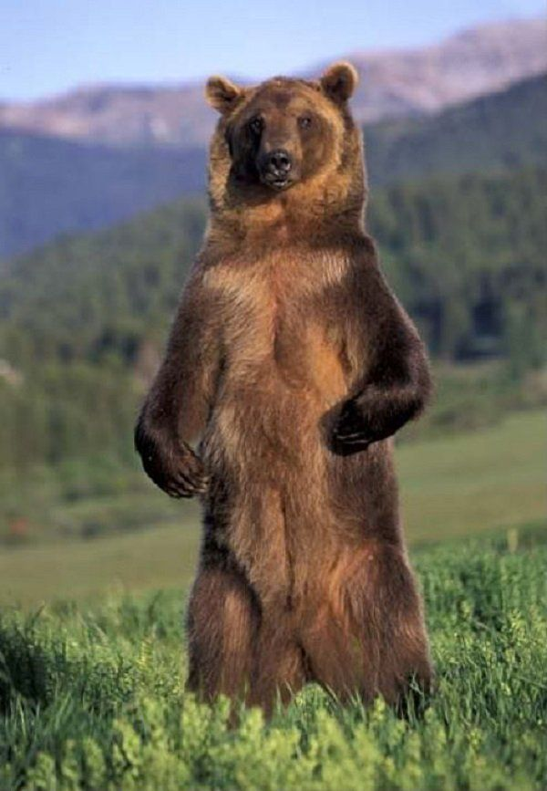 Grizzly Bear Facts - Animal Facts Encyclopedia