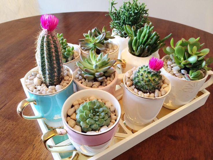 Succulent in tea cups