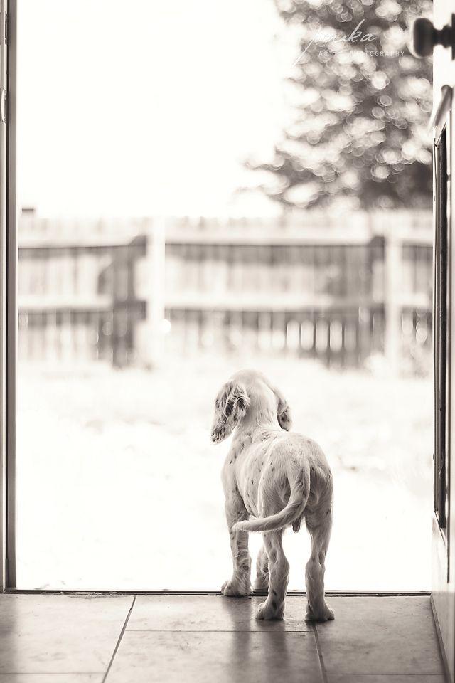 """Little man, big world."" English Setter puppy. Pet portrait. Photography. www.pouka.com"