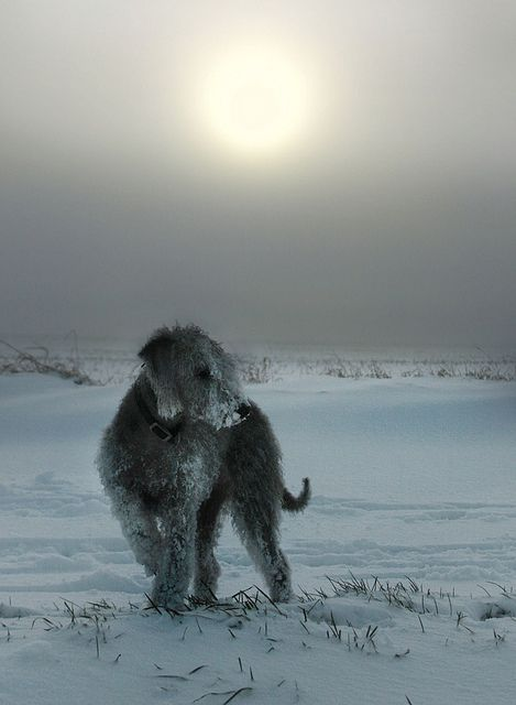 Bedlington Terrier in the Snow 2 by PippaWoods, via Flickr