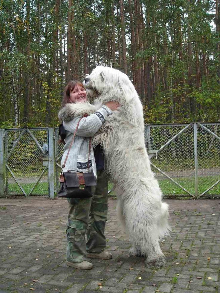 "The Caucasian Ovcharka is a strong bear-like dog from Russia whose name, ""Ovcharka,"" comes from the Russian ""Ovtcharka"" meaning sheepdog. Description from pinterest.com. I searched for this on bing.com/images"