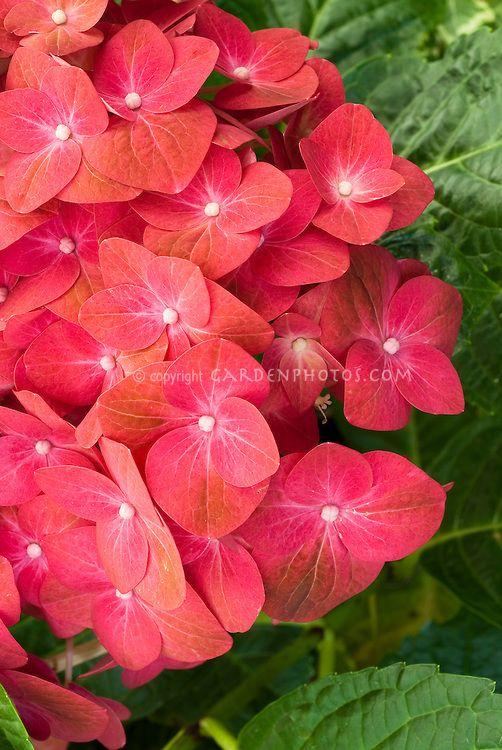 464 Best Hydrangea Images On Pinterest Hydrangeas White