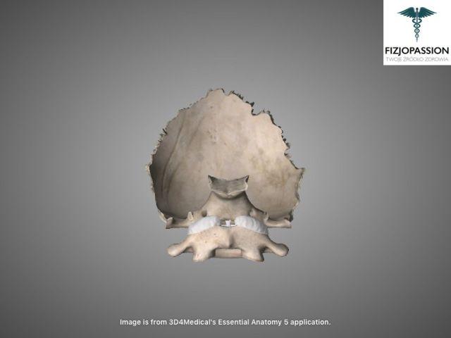 Articulatio atlantooccipitalis anterior view / Staw szczytowo-potyliczny widok z przodu