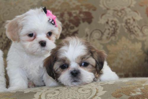 Beautiful ACA Register Female Shih Tzu Puppies-