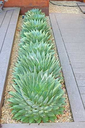 aloe polyphylla - my dream succulent! - via Cactus Blog